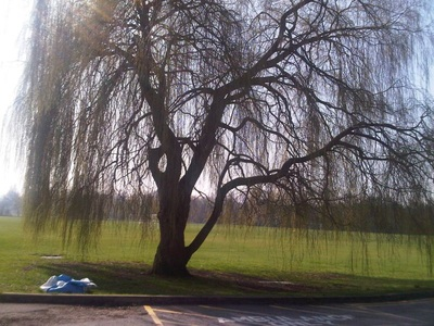 Willow tree at Dulwich Sports Ground